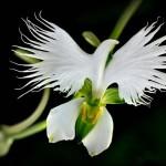White Egret Orchid (Habenaria Radiata)